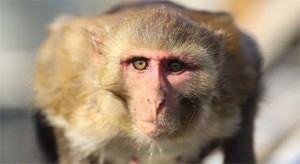 Атака обезьяны на туриста