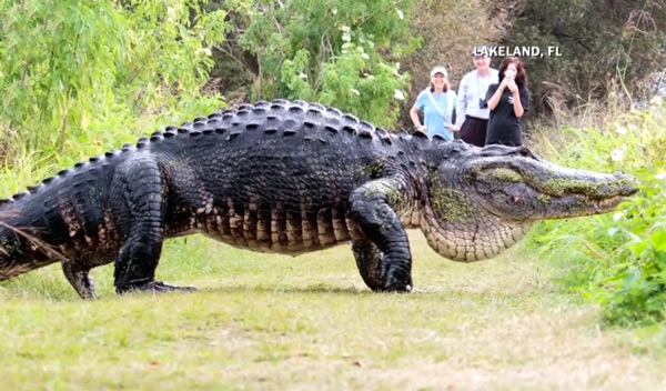 огромный аллигатор испугал туристов во флориде