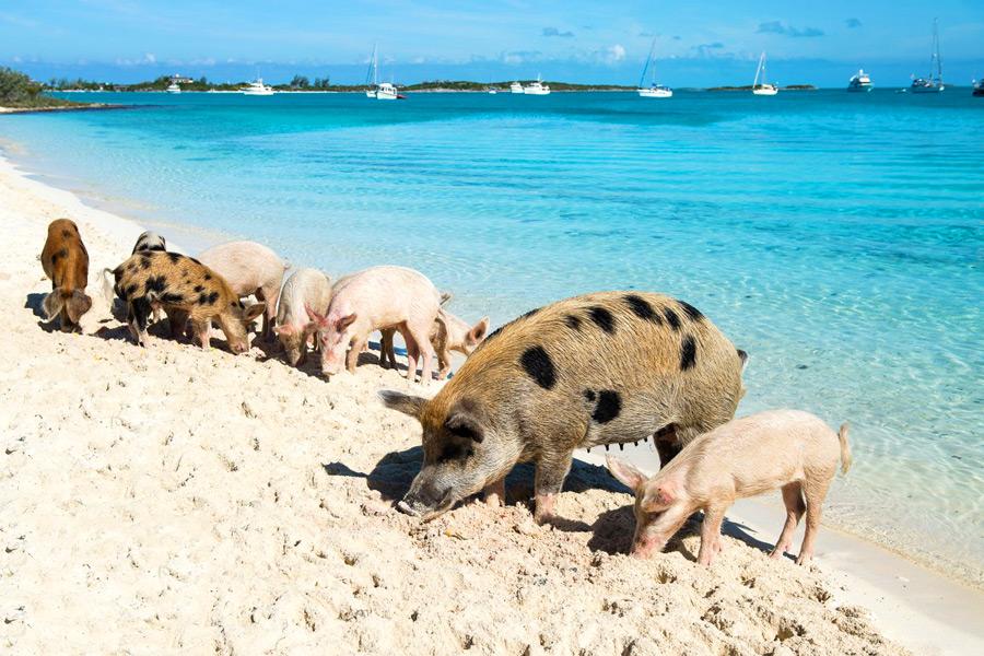 свиной остров Биг Мэйджор Кэй багамы