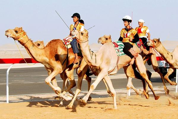 верблюжьи гонки в дубае оаэ