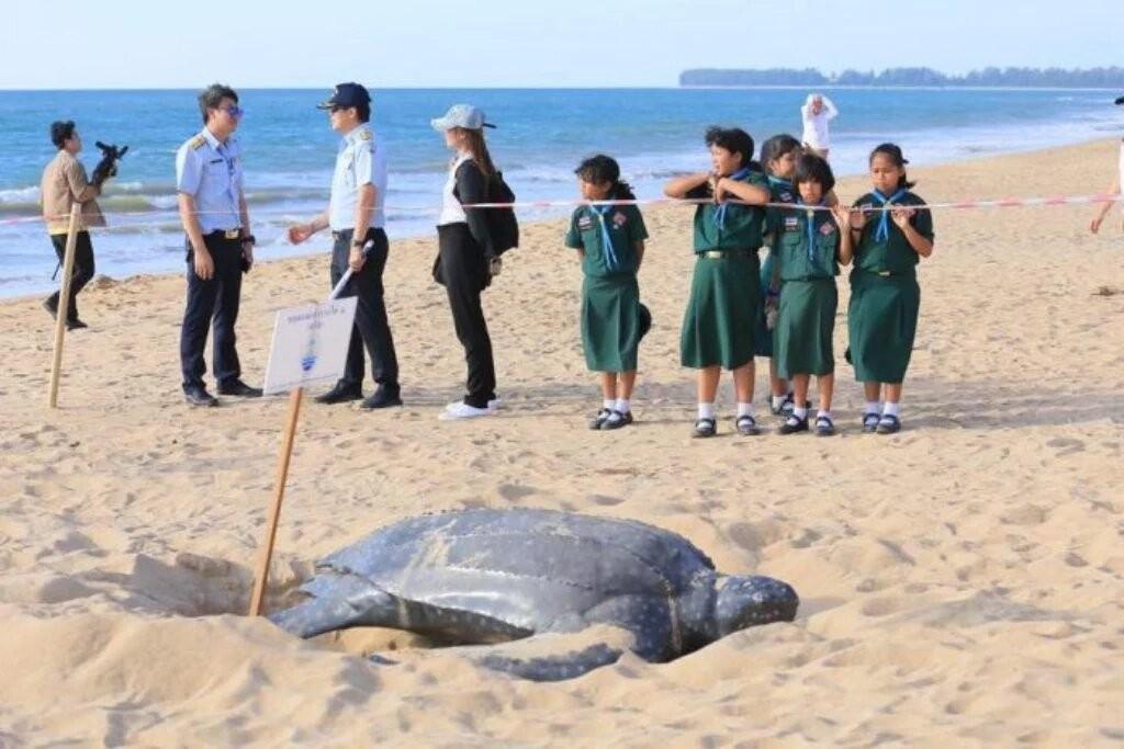 На Пхукете охраняют кожистую черепаху