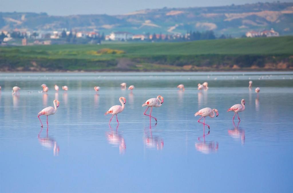 Фламинго на соленом озере около Ларнаки